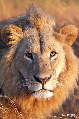 africa kenya wildlife nairobi lion safari goldenhour pantheraleo wildlion