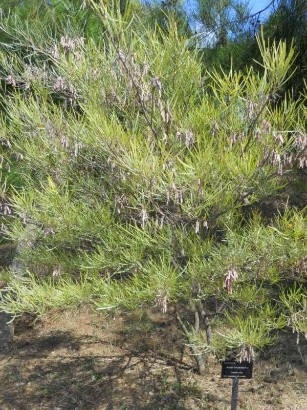 Acacia brachystachya v 1