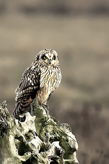 Short Eared Owl Posing | by DragonSpeed