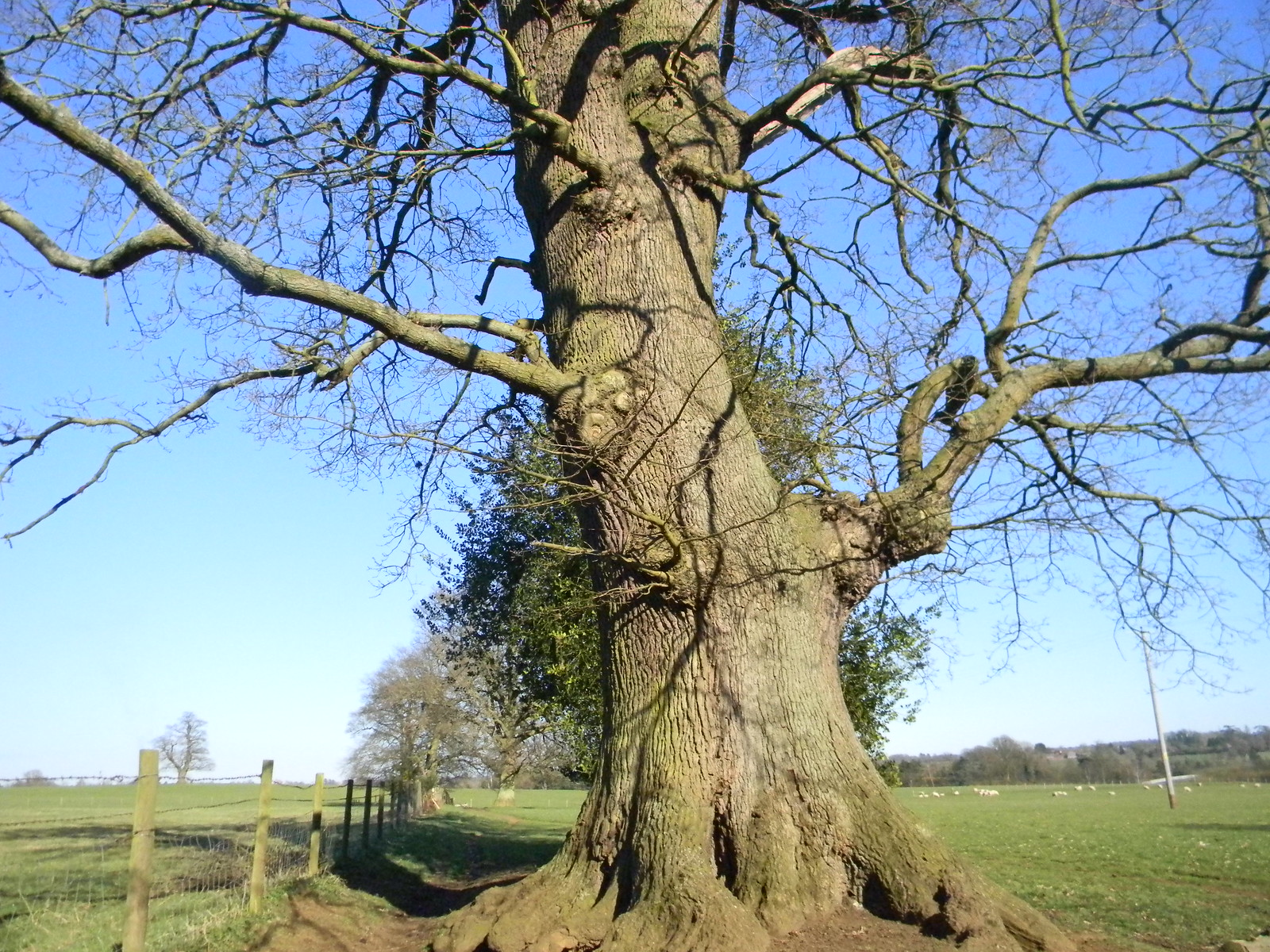 Big tree Farnham to Godalming