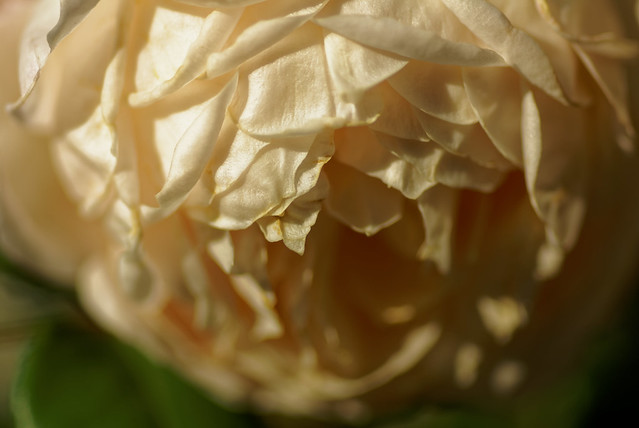 Les couches de pétales - The layers of petals - Explore rank 450 - 28/9/2016