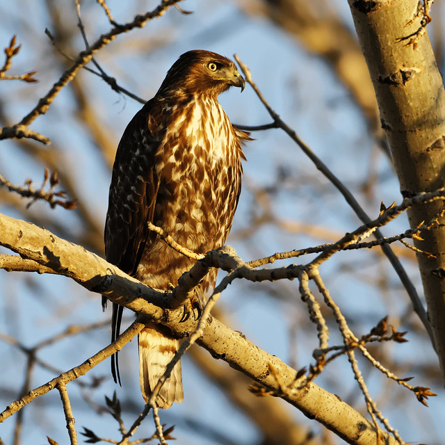 Red-tail hawk hunting at sunset