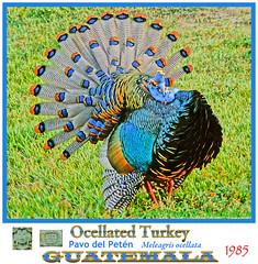 OCELLATED TURKEY MALE COURTSHIP DISPLAY Meleagris ocellata. 1985. El Petén, Guatemala. Photo by Peter Wendelken.