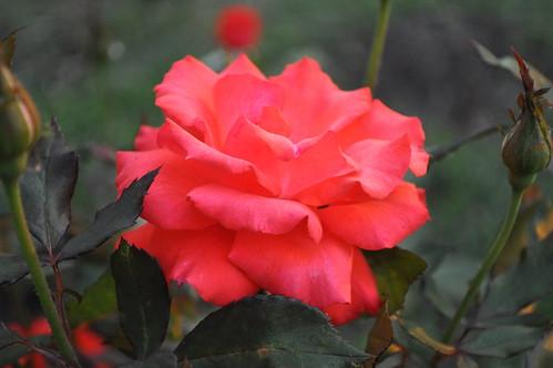 morning pink sunset red plant flower love rose sunrise outside backyard texas