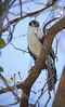 Collared Forest-Falcon by Chris Jimenez - Take Me To The Wild