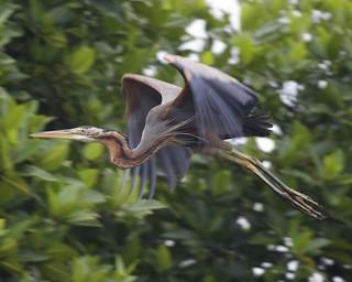 Purple Heron (Ardea purpurea) | by Lip Kee