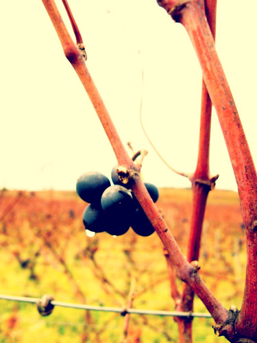 Wine Grapes | by Tess French