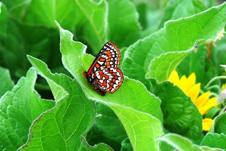 Taylor's checkerspot (Euphydryas editha taylori), a candidate for listing | by USFWS Endangered Species