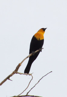 Yellow-headed Blackbird (Xanthocephalus xanthocephalus)2 | by Jaime Robles M.
