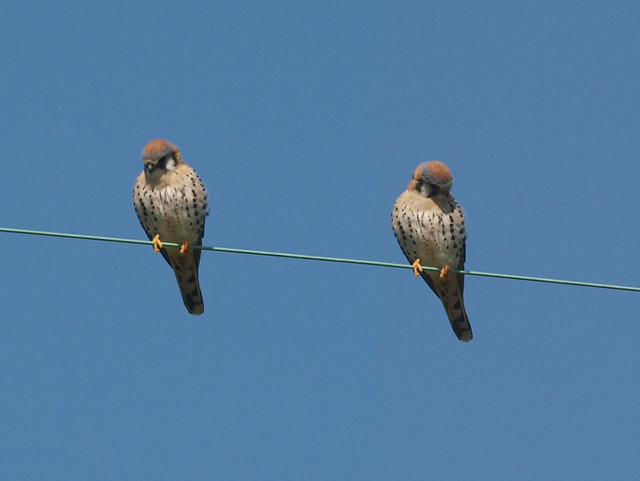 K2245619_2 110224 LLC American Kestrels on a line checking ground below PScs4 collage