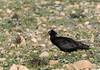 Northern Bald Ibis  /Eremitibis (Geronticus eremita) by Hans Olofsson