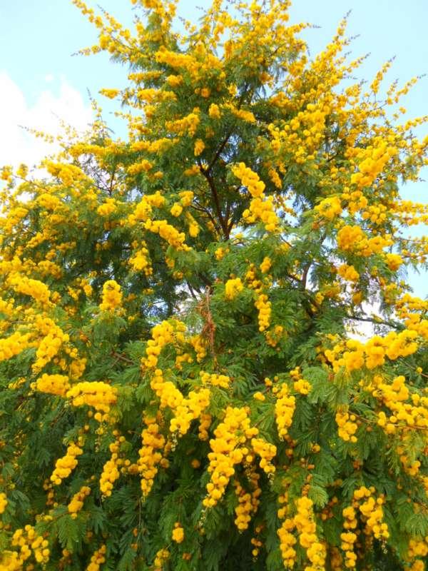 Acacia karroo v 1