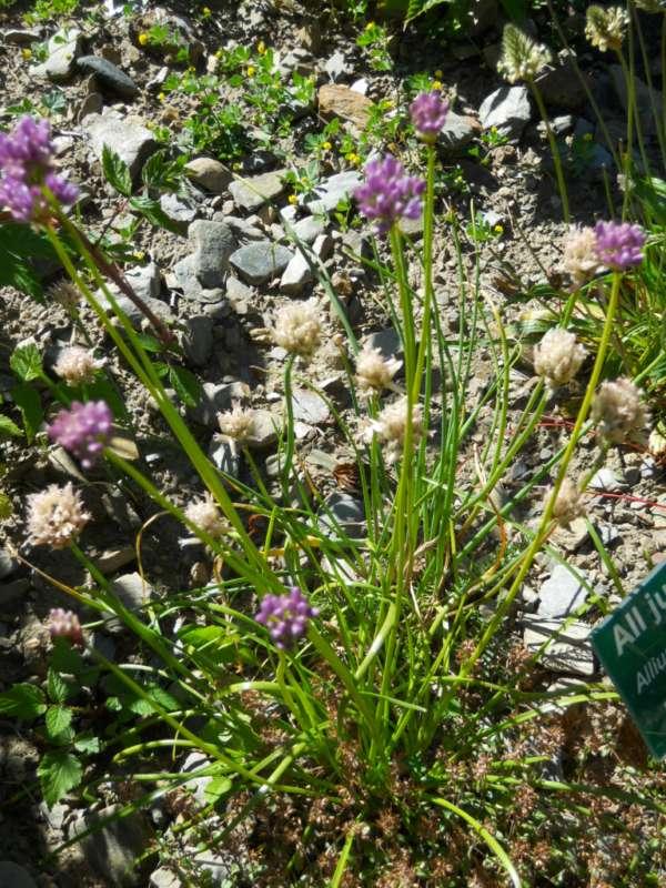 Allium schoenoprasum v 1