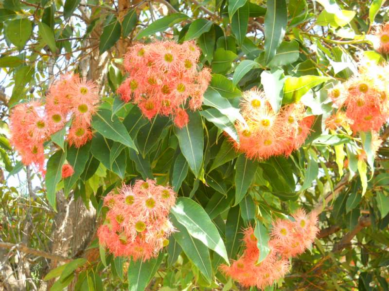 Eucalyptus ficifolia 3