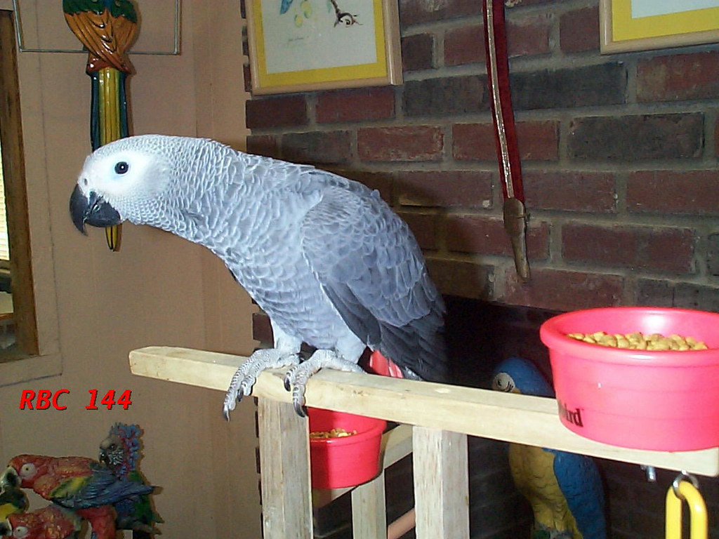 African Grey parrot and Hycinth macaw for sale