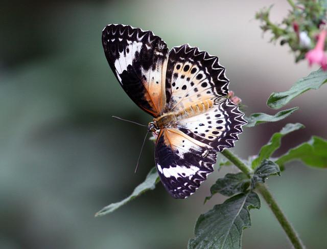 Leopard lacewing butterfly 69