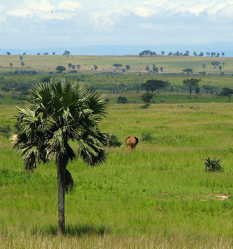 africa paisajes palmeras verano uganda 2008 sabana murchisonfallsnationalpark eastafrica loxodontaafricana flaga animalessalvajes canonps elefanteafricanodesabana pverde parquenacionalcataratasmurchison