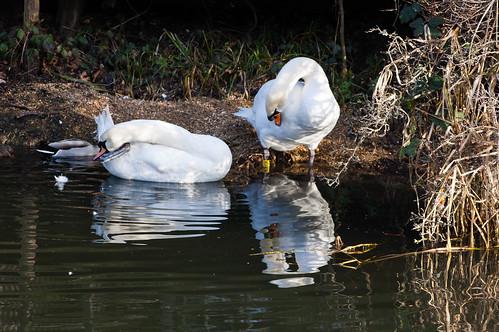 Swans preening