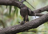 Collared Sparrowhawk by Greg Miles