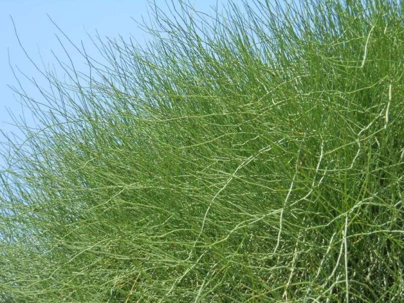 Ephedra fragilis 2