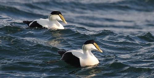 ocean sea lighthouse bird birds duck newjersey ducks eider barnegatlight commoneider somateriamollissima commoneiders newjerseybirds avianexcellence