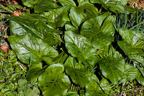 Wild arum leaves