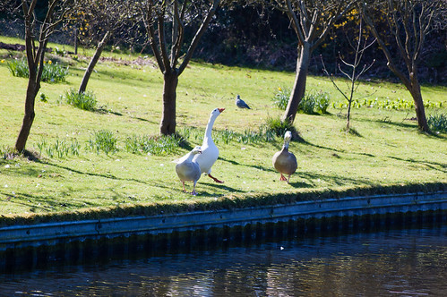 Geese posturing