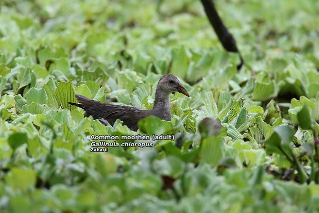 Common moorhen (juvenile) (Gallinula chloropus)