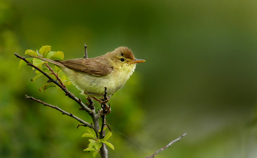 Melodious Warbler (Hippolais polyglotta), Le Petit Loc'h, Guidel, Brittany, France | by Frank.Vassen