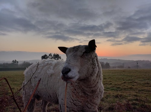 sheep ram field farm farming sussex agriculture sunset dusk day new year years eve