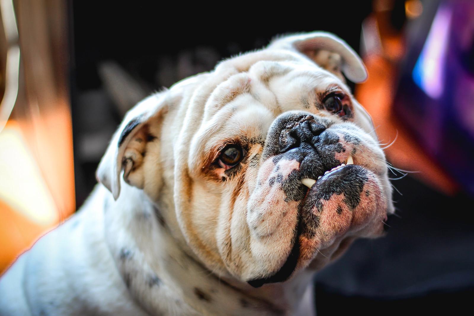 Buldogue - Dog Scanner