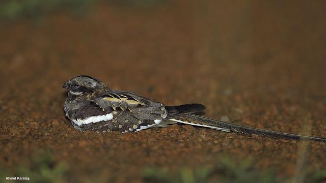 Caprimulgus climacurus - Uzunkuyruklu Çobanaldatan [TR], Long-tailed Nightjar [EN]