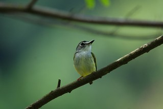 The Black-capped Pygmy Tyrant (Myiornis atricapillus) | by Alonso Quevedo Gil