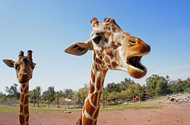 Singing Giraffe, with Back-up