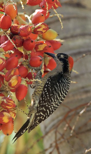 Black-cheeked Woodpecker, female | by birding4ever