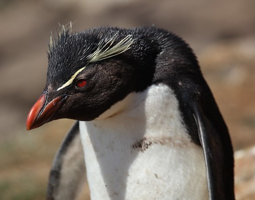 Rockhopper Penguin | by Liam Quinn