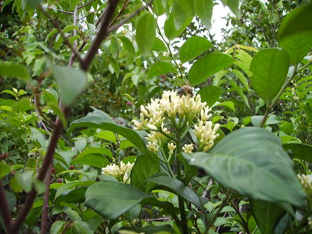 Chassalia pauwelsii (RUBIACEAE)