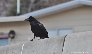Common Raven (Corvus corax) | by Photography Through Tania's Eyes