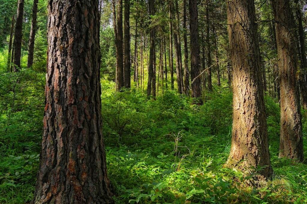 Douglas-fir / Grand fir Forest in the Palouse   Joe ...  Douglas Fir Forest