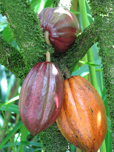 Cacao: moss on stems due to moist environment | by Plant pests and diseases