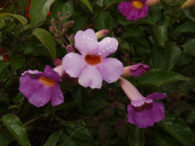K5179299 violet trumpet vine and red fuchsia