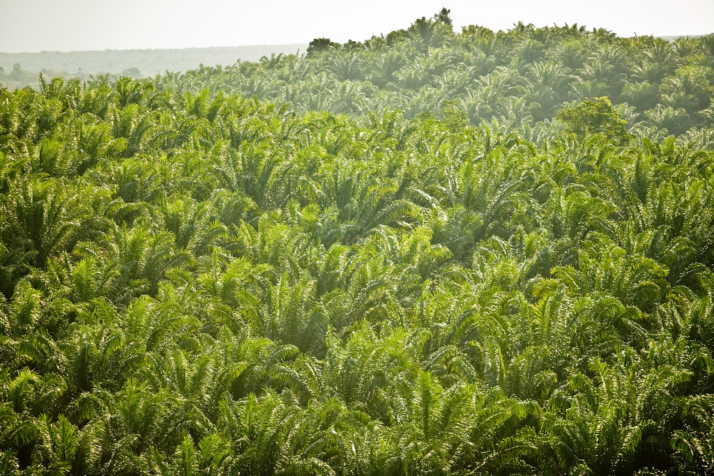 Cargill's Problems With Palm Oil | This photo is from an inv