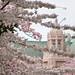 UW Cherry Blossoms - April 3 2011