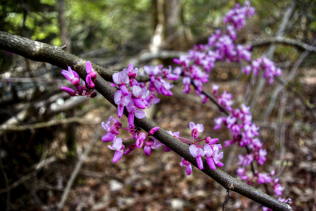 Cercis canadensis, Spring Creek State Scenic River, Overton Co, TN