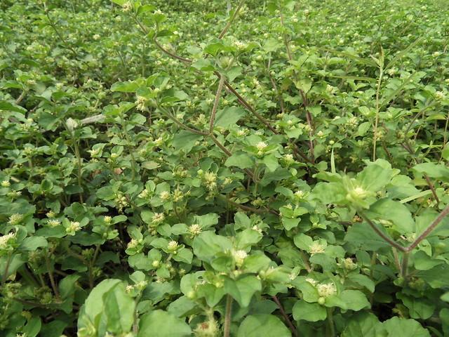 Acanthospermum hispidum DC. (ASTERACEAE)