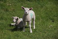 Lamb: What you looking at?