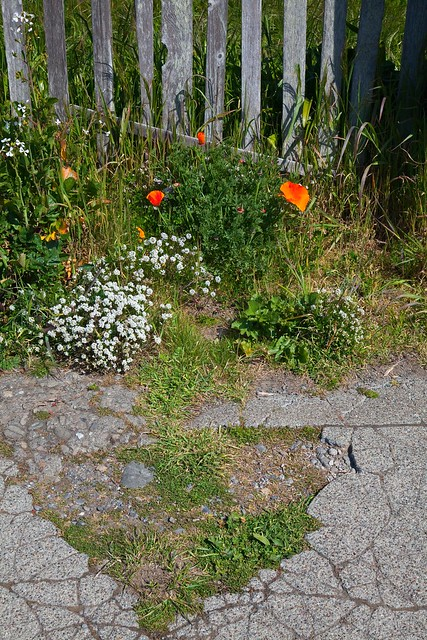 Mendocino Sidewalk and Flowers