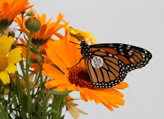 Tagged Monarch butterfly | by Anna Barnett