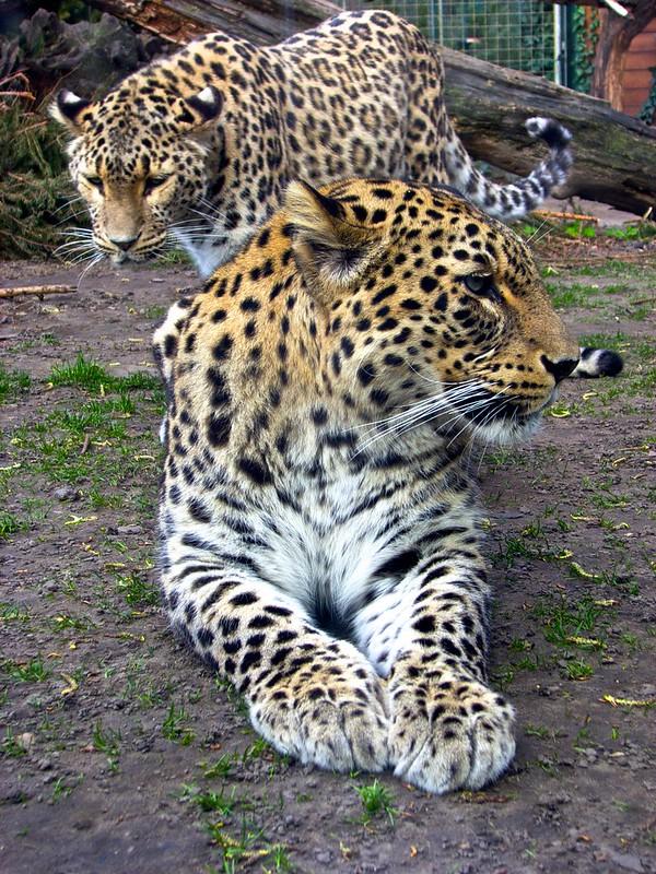 Leopards