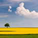 rapeseed and the tree by skoeber